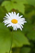 Oxeye Daisy (Leucanthemum vulgare, AKA Chrysanthemum leucanthemum); Willamette National Forest, Oregon.