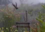 Read the blogpost about this pausing hen blackbird here http://bit.ly/1bLOtsS