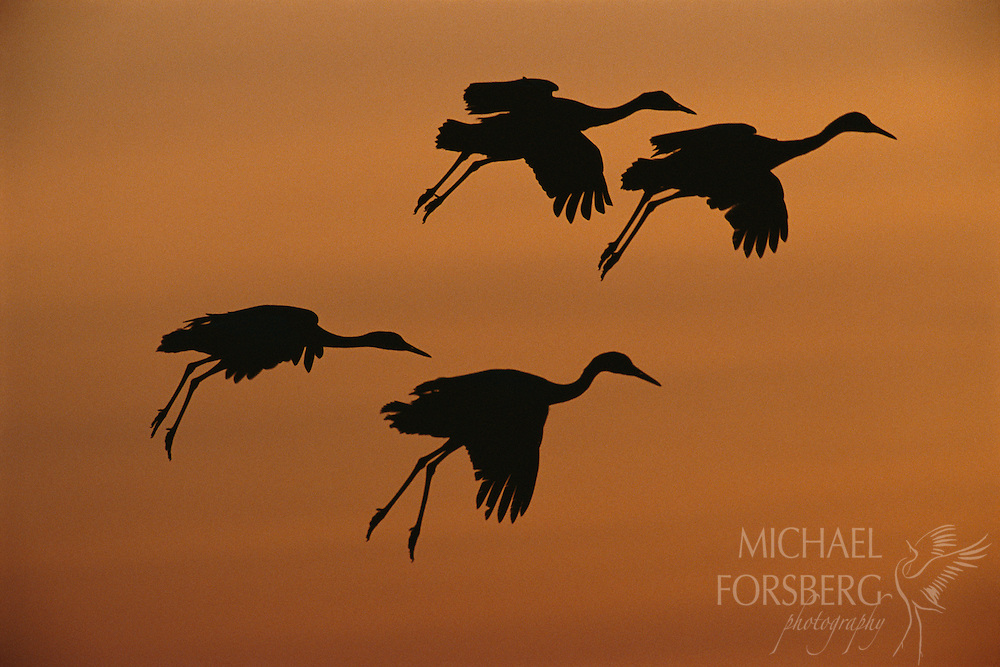 Sandhill Cranes- Rowe Sanctuary, Platte River, Nebraska. Four sandhill cranes descend from the prairie sky like leaves in a gentle breeze to roost for the night on the wide, shallow sandbars of the Platte River. From late February to early April, sundown on the Platte is sheer spectacle, as scores of cranes return each evening in huge waves to the protection of this wide and braided river. During the day, they feed in agricultural fields and wetlands often several miles away. Each spring, the Platte River provides critical sanctuary and roosting habitat to a staggering 500,000 sandhill cranes and millions of migrating waterfowl, heading to sub-arctic and arctic breeding grounds far to the north.