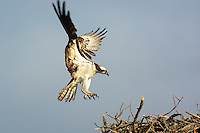 Osprey, Haliaetus pandion lands on nest near Fenwick, De.