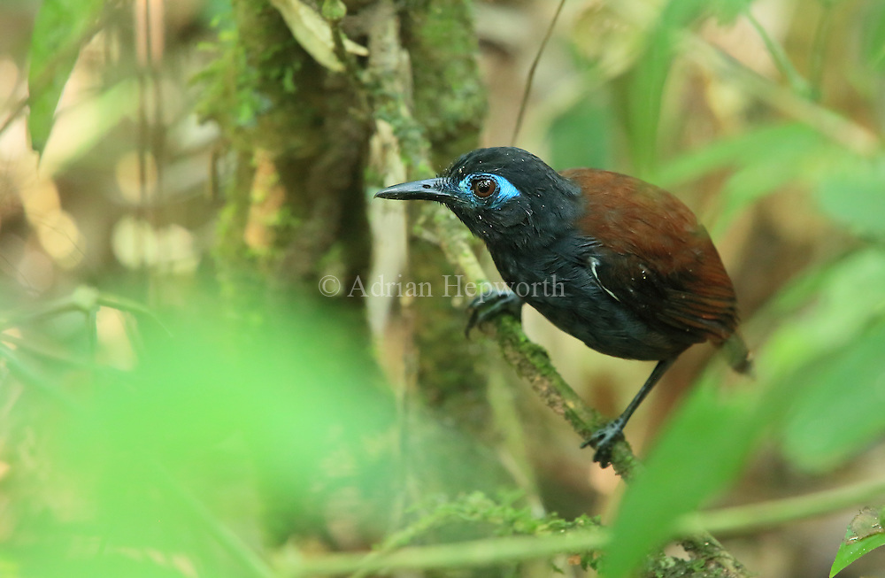 Chestnut-backed Antbird (Myrmeciza exsul) in rainforest. Sirena, Corcovado National Park, Costa Rica. <br />