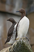 The Common Murre or Common Guillemot (Uria aalge) is a large auk. It is also known as the Thin-billed Murre in North America.