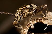 A close-up longhorn beetle.