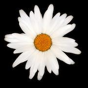Daisy Flower Closeup