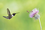 Black-chinned Hummingbird, Archilochus alexandri, male, Santa Cruz County, Arizona