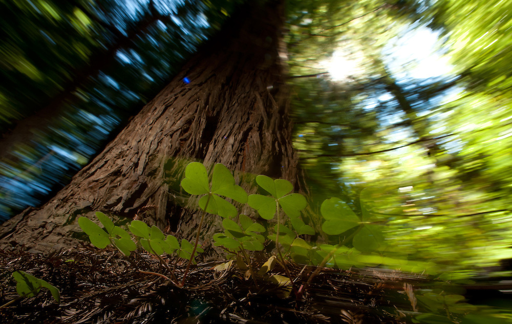A Redwood stands in Mendocino, California, as the camera is moved during the exposure as the flash freezes the tree and clover in the foreground.