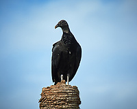 Black Vulture on a dead palm tree. Biolab Road, Merritt Island National Wildlife Refuge. Image taken with a Nikon D3s camera and  70-200 mm f/2.8G VRII lens and TC-E 2.0 III teleconverter (ISO 200, 400 mm, f/8, 1/1250 sec).