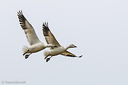 The Snow Geese pair spread their wings to begin to slow themselves down as they descended to land amongst other geese.  They dropped their feet and spread their toes to give additional drag.  When they touched the ground, it was as if they had gently stepped onto the grass; as graceful as an Olympic gymnast.