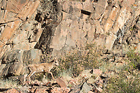 A young bighorn sheep climbs a rocky slope south of Gunnison, Colorado