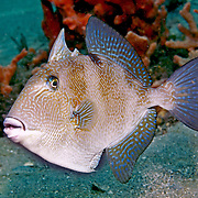 Gray Triggerfish inhabit reefs and areas of sand, rubble and seagrass in Tropical West Atlantic; picture taken Blue Heron Bridge, Palm Beach, FL.