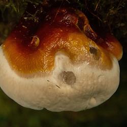 Fungus of the Temperate Rainforest, Olympic Peninsula, Washington, US