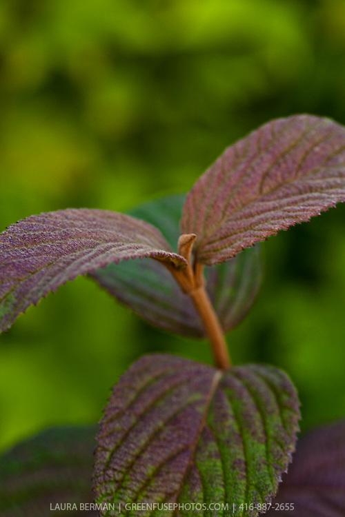 Viburnum plicatum 'Newzam'- Newport Doublefile Viburnum