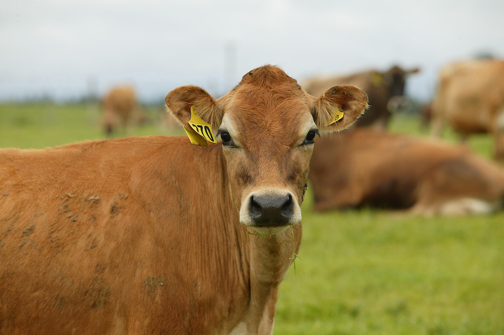 A jersey cow contentedly chewing her cud on a Taranaki dairy farm, New Zealand, July 29, 2005. Credit:SNPA / Rob Tucker