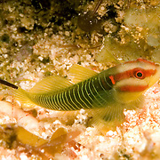 Reedcheek Goby inhabit shallow inshore areas, usually hide beneath sea urchins, occasionally under rocks and other hiding places in Roatan and Utila, Honduras; pictue taken Utila, Honduras.