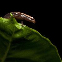 Arboreal salamander, Bolitoglossa rufescens, from Las Escobas, coastal Guatemala