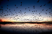 Snow Geese fly out of Bosque del Apache National Wildlife Refuge. Photo by Tom Lynn/TLYNN@JOURNALSENTINEL.COM