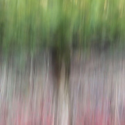 """""""The Reds Below""""<br /> <br /> Red berries, twigs, and pine trees. A beautiful motion blur of lovely and relaxing color!!<br /> <br /> Nature Abstracts by Rachel Cohen"""