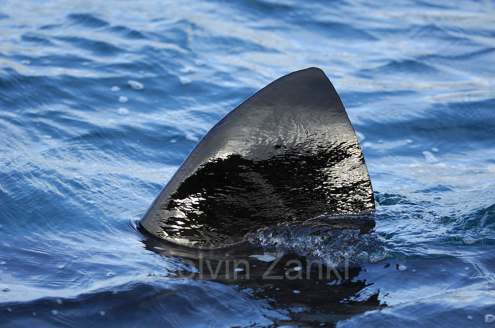The basking shark, (Cetorhinus maximus) (dt. Riesenhai), is the second largest fish. Only shark fin is shown.