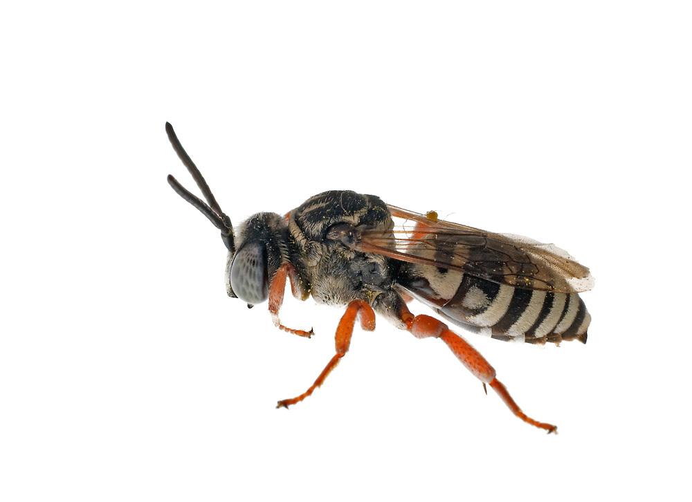 Cuckoo Bee, Triepeolus sp, Madison, Wisconsin
