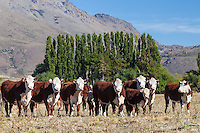GANADO VACUNO (VACAS Y TERNEROS) RAZA HEREFORD, ESTANCIA LELEQUE, PROVINCIA DEL CHUBUT, ARGENTINA (PHOTO © MARCO GUOLI - ALL RIGHTS RESERVED)