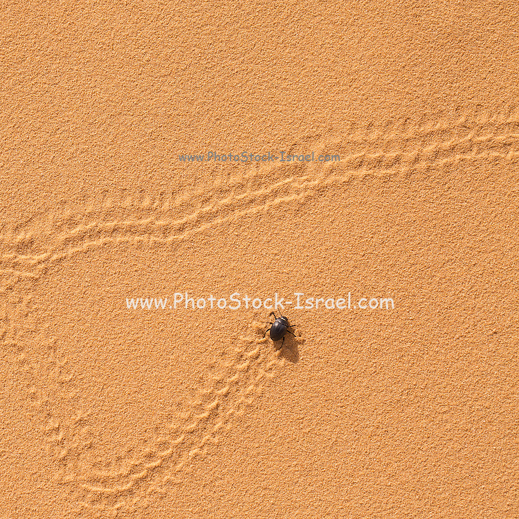 Erodius gibbus (Darkling beetle) leaves tracks on a sand dune Photographed in Israel in March