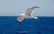 Griekenland, Aegina, 5-7-2008Zeemeeuw in volle vlucht.Foto: Flip Franssen