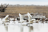 Four Tundra Swans (Cygnus columbianus)  take off from a marsh in the Susitna Flats State Game Refuge near Beluga in Southcentral Alaska during the spring migration. Afternoon.