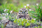 A Burrowing Owl, Athene cunicularia, rests near its den on the Florida Atlantic UIniversity campus in Boca Raton, Florida, United States. Image available as a premium quality aluminum print ready to hang.