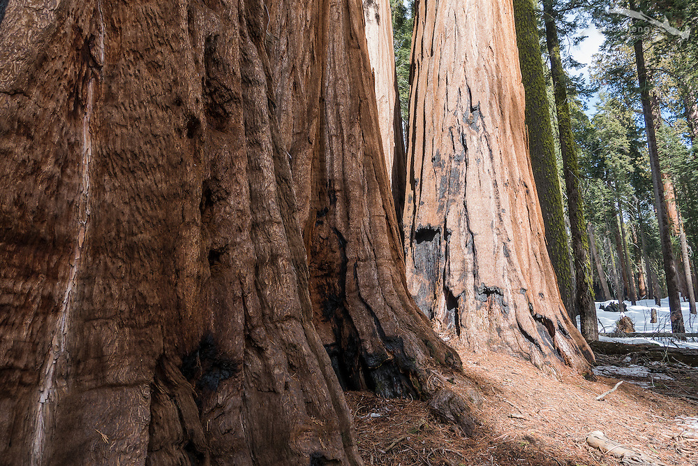 Giant tree trunks in Sequoia National Park, California.