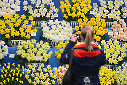 © Licensed to London News Pictures. 20/05/2013. London, UK A woman takes a picture of a display of Daffodils. Press day at Chelsea Flower Show 2013. The centenary edition of the show attracts large number of visitors and is already sold out before opening day. Photo credit : Stephen Simpson/LNP