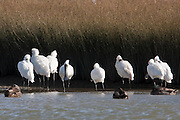The royal spoonbill is also known as the Black-billed Spoonbill.
