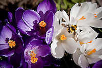 JEROME A. POLLOS/Press..A honey bee crawls out of a flower in bloom Monday on the North Idaho College campus.