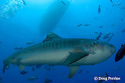 tiger shark, Galeocerdo cuvier, Shark Reef Marine Reserve, Beqa Passage, Viti Levu, Fiji ( South Pacific Ocean )