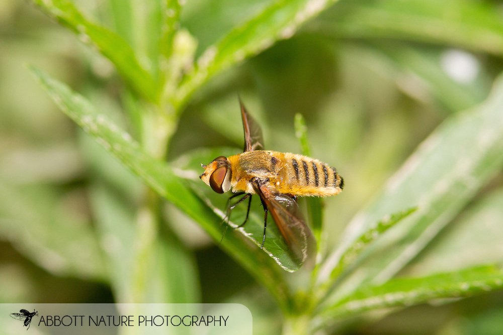 Bee Fly (Poecilanthrax lucifer)<br /> ARKANSAS: Montgomery Co.<br /> Private residence in Caddo Gap<br /> 21-June-2015<br /> J.C. Abbott #2748 &amp; K.K. Abbott