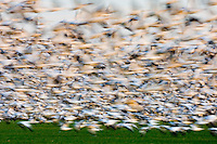 Large flock of Snow Geese (Chen caerulescens) taking flight en masse in the lower Skagit Valley Washington USA
