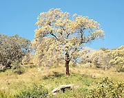 Tree near Handapanagala.