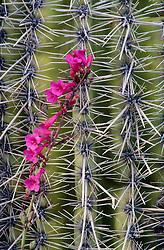 North America, United States, Arizona, Saguaro National Monument, vine with pink flowers on cactus