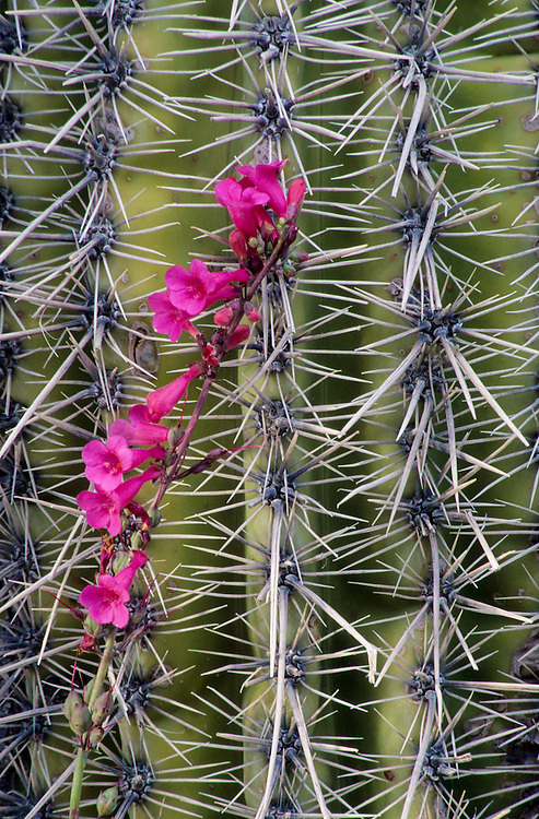 North America, United States, Arizona, Saguaro National Monument, vine with pink flowers on cactus