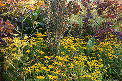 Rudbeckia fulgida var. deamii and cotinus at Glebe Cottage in autumn