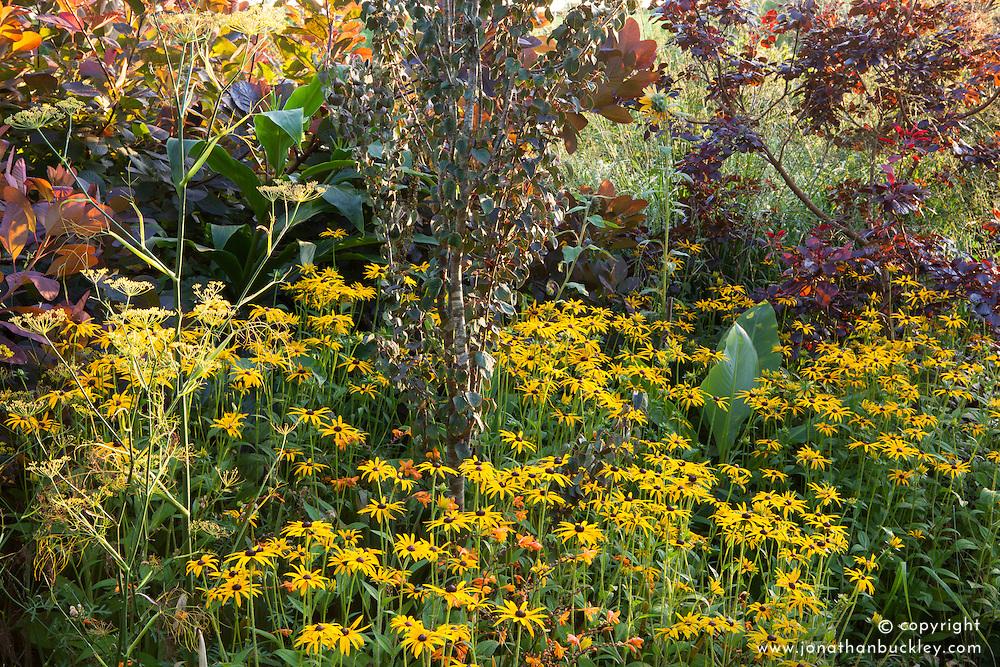 Rudbeckia fulgida var. deamii and cotinus at Glebe Cottage in autumn