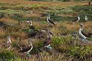 Blue-footed Booby Colony (Sula nebouxii excisa)<br /> Española (Hood) Island. GALAPAGOS ISLANDS,<br /> ECUADOR.  South America<br /> By far the least common of the three booby species in Galapagos but the Blue-footed Boobies are the most commanly seen as their small colonies are spread throughout the archipelago. They nest close to shore on flat areas. The nests are relatively closely spaced, but consist of nothing more than a shallow scrape in the ground. They have less than an annual breeding cycle and different colonies can be found breeding around the archipelago throughout the year. Their courtship antics are entertaining. In trying to attract a mate the male actually dances. If a female is attracted to him she will join him and together they will dance the 'booby two step'. Sexes are differentiated by the eyes. Males appear to have smaller pupils than females. (females have a darkly stained iris giving the impression of a larger pupil) The female is also larger and her voice is distinct - a honk while the male whistles. They are inshore feeders and are able to dive in shallow water. As they feed close to shore it is feasible for the parent birds to return with food sufficient for three chicks so in a good year they may raise up to three.