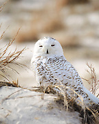 The beautiful Snowy Owls of Long Island's South Shore at Jones Beach