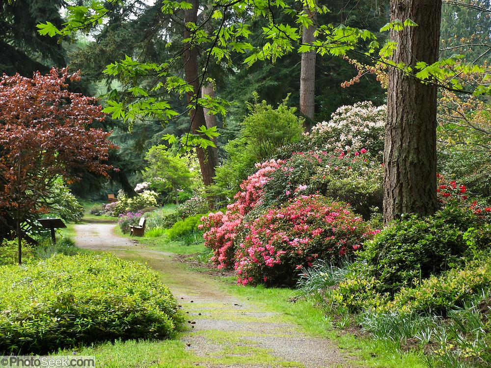 Spectacular hybrid rhododendron flowers bloom in Meerkerk Gardens ...
