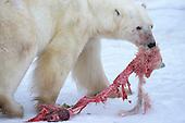 Polar Bear Infanticide & Cannibalism