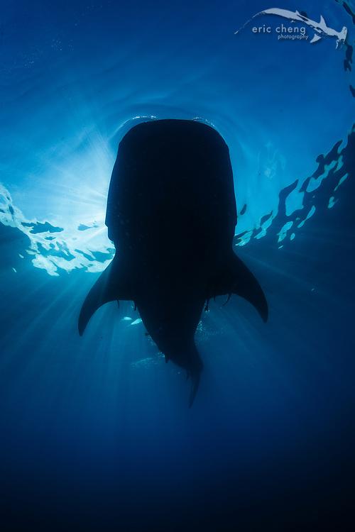 Whale shark silhouette