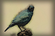 Digitally enhanced image of a Cape glossy starling (Lamprotornis nitens). This starling is found throughout most of southern Africa. Like all starlings, it uses its sharp tapering bill to feed on insects and fruit, but also feeds on the nectar of aloes. It forms flocks of 6-10 birds that forage in trees or on the ground. Photographed in Zimanga Reserve, KwaZulu-Natal, South Africa.