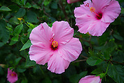 Hibiscus, Flower, Hawaii