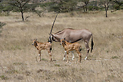 Kenya, Samburu National Reserve, Kenya, Gemsbok (Beisa Oryx), caring for the young calves, February 2007