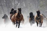 Carpathian pony, Hucul (Equus caballus), Bieszczady National Park, Poland
