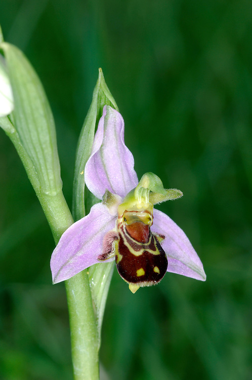BEE ORCHID Ophrys apifera (Orchidaceae) Height to 30cm<br /> Perennial of dry grassland, mainly on calcareous soils. FLOWERS have pink sepals and green upper petals; lower petal is 12mm across expanded, furry and maroon with variable, pale yellow markings (vaguely bumblebee-like). Borne in spikes (Jun-Jul). FRUITS are egg-shaped. LEAVES are green and oval, forming a basal rosette, with 2 sheathing leaves on stem. STATUS-Locally common only in England, Wales and S Ireland.